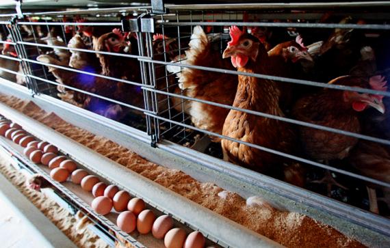 Строительство птицефабрики обойдется в 2,3 млрд. тенге