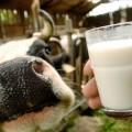 Производство молока в КР стало нерентабельным