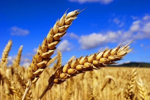 Казахстан экспортировал 5,5 млн тонн пшеницы и меслина
