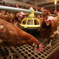 В Восточном Казахстане появится новая птицефабрика