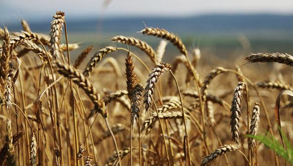 Высокий урожай зерна ожидают в Казахстане