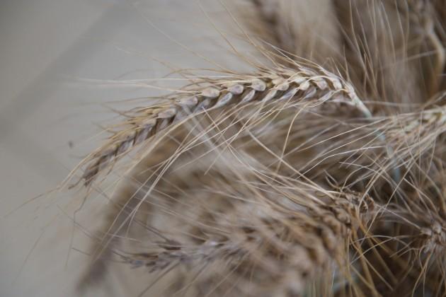В Казахстане планируется собрать около 17,5 млн тонн зерна