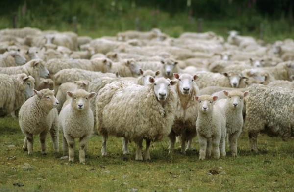 Беларусь запретила ввоз овец и коз из двух областей Казахстана