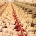 Птицефабрику за 800 млн тенге введут в Акмолинской области
