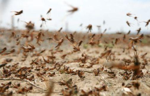 Минсельхоз ожидает, что саранча захватит 3 млн. гектаров