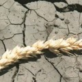 Страховщики не выплачивают аграриям компенсаций