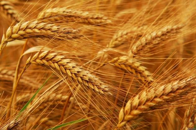 Прогноз: Мировой сбор пшеницы снизится до741млн тонн