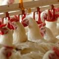 5,6 млрд направят на поддержку птицеводства