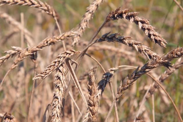 В РК погиб урожай на площади 120 тыс. га