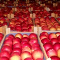 Польские яблоки попадают в РФ через Беларусь