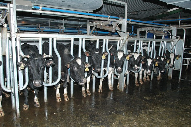 Коровы из Австрии оказались больными