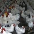 Казахстан ограничил ввоз птицы и скота из Дании и Германии