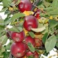 Старинный яблоневый сад возрождают в Восточном Казахстане