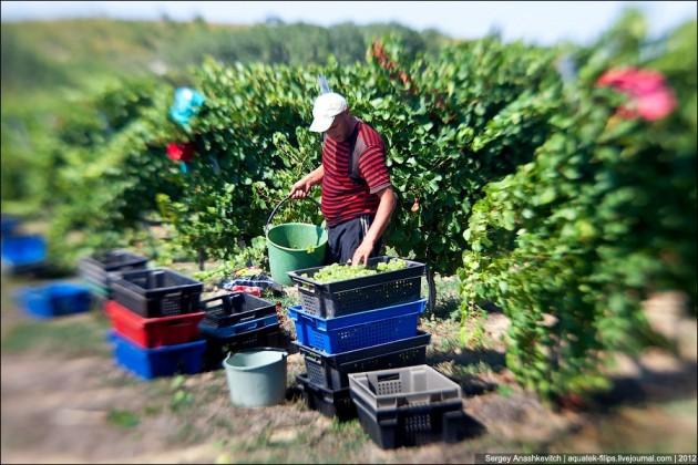 Втекущем году вСарыагашском районе ЮКО собрано около 9тысяч тонн винограда
