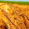 В РК урожай зерновых составит 15 млн. тонн