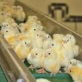 Для Костанайской птицефабрики будут искать инвесторов