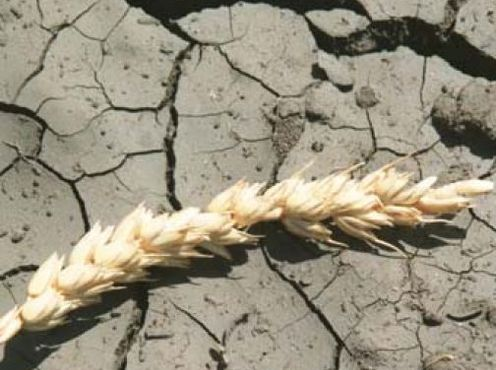 Из-за засухи погибло около 1,5 млн. га посевов