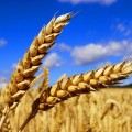 Казахстан экспортировал 6,3млн тонн зерна имуки
