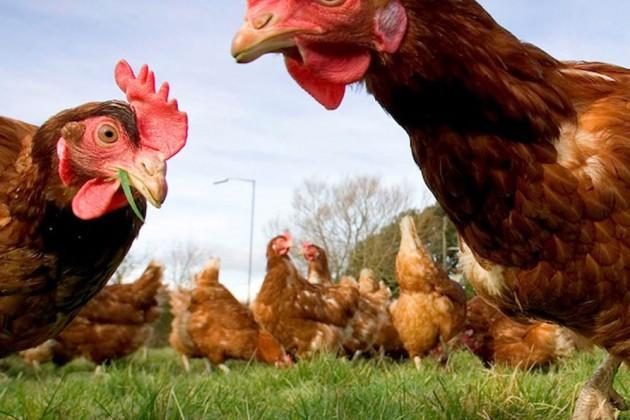 Что пойдет наэкспорт первым: курица или яйцо?