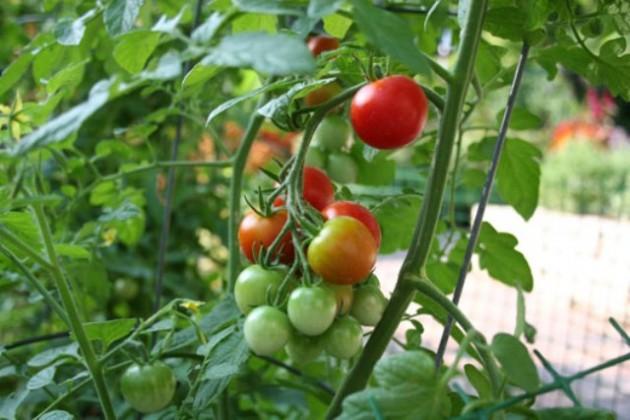 Крупнейшая в РК теплица начала поставку овощей