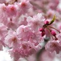 В Японии раньше обычного расцвела сакура