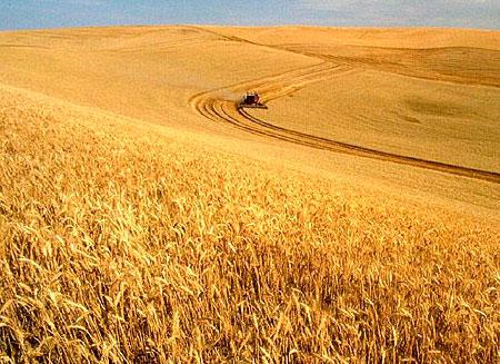 Производство зерна в мире может достигнуть исторического максимума