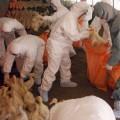 В Китае истребляют уток из-за птичьего гриппа
