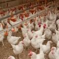 В Акмолинской области строят птицефабрику стоимостью 39 млрд тенге