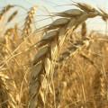 Четвертая часть экспорта пшеницы из РК пришлась на Иран