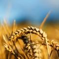 На бирже ЕТС растет цена на пшеницу
