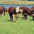 На закупку скота актюбинским фермерам выдано 5,8 млрд тенге