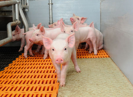 Китай планирует купить крупнейшую свиноводческую компанию мира