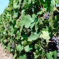 Китайцев и россиян подозревают в отмывании денег через виноградники