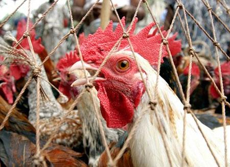 Кыргызстан ввел запрет на ввоз мяса птицы из Китая из-за птичьего гриппа
