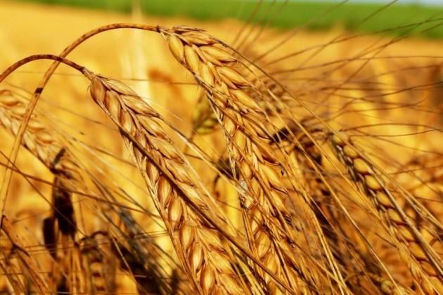 Казахстан засеет пшеницы меньше, чем в прошлом году