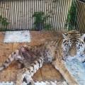 Тигрицу Куралай спасти уже невозможно