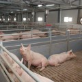 Под Алматы открылся свиноводческий комплекс