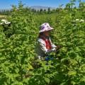 Южный Казахстан увеличит урожай малины