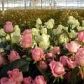 Излишнюю энергию с Экибастузской ГРЭС направят на выращивание роз
