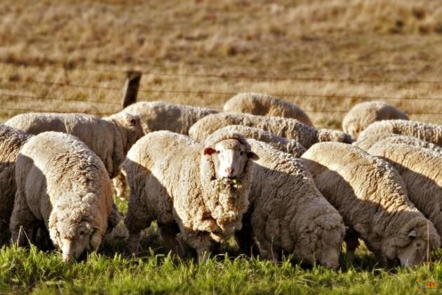 В РК вводится программа по развитию овцеводства