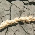 4 района Костанайской области страдают от засухи