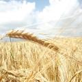Акмолинская область соберет свыше 5 млн. тонн зерна