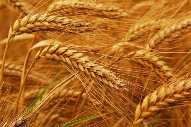 Минсельхоз ожидает сбор зерновых науровне 19,2млн тонн