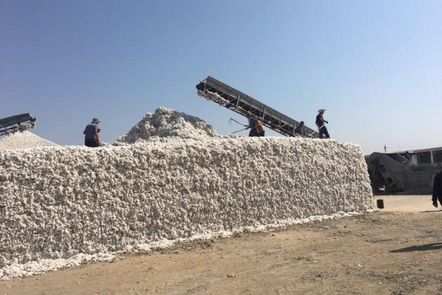 Мактааральские аграрии реализуют первый урожай хлопка по165тысяч тенге затонну