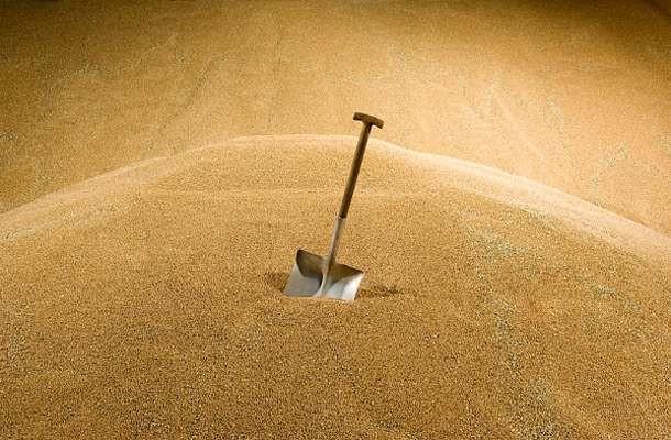 Мировой урожай пшеницы ириса установит новый рекорд— ФАО