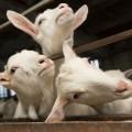 Мороженое изкозьего молока будут производить вАтырауской области