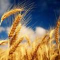 Казахстану грозит дефицит семян