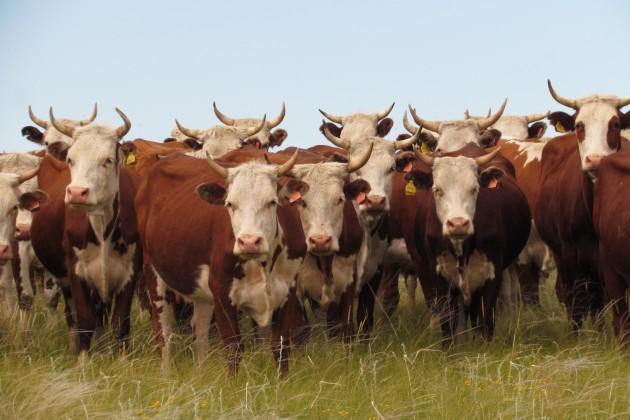 В 2013 году в РК планируют завести 14 тыс. голов скота