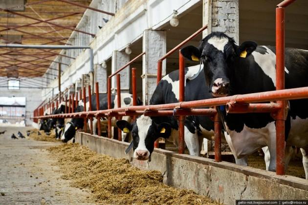 Завод по переработке мяса построят на западе