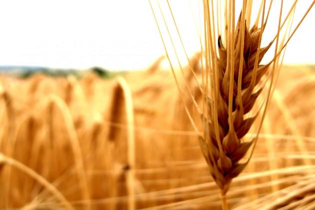 Россия вывезет из Казахстана свыше 1 млн. тонн пшеницы